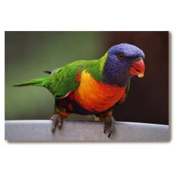 Papuga Obraz na Płótnie...