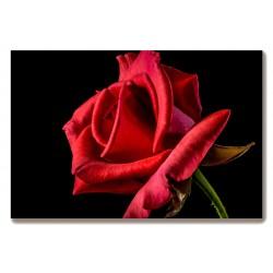 Czerwona róża Obraz na...